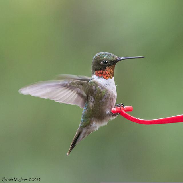 Hummingbird: Ruby-Throat's Bill