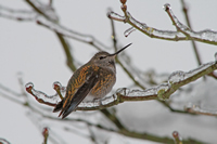 rufous in ice storm