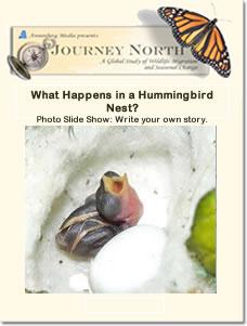 Hummingbird eggs in a hummingbird nest