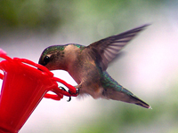 Ruby-throated Hummingbird landing on feeder