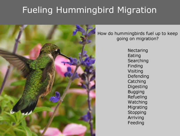 Hummingbird Migration and Energy Needs