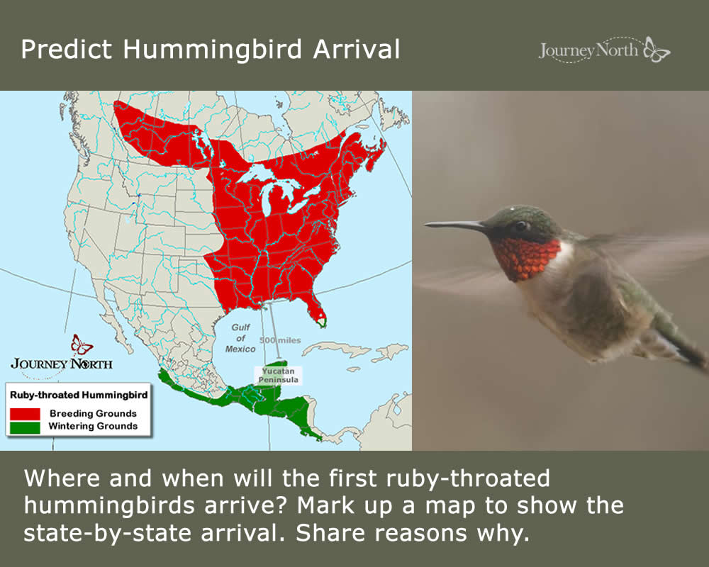 Where, when, and how do Ruby-throated Hummingbirds migrate in the spring?