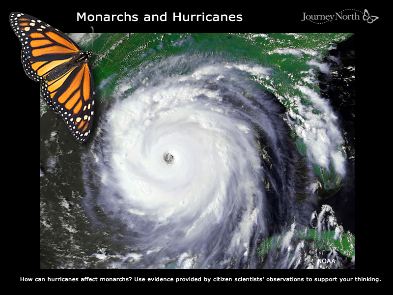 How do hurricanes affect monarchs?