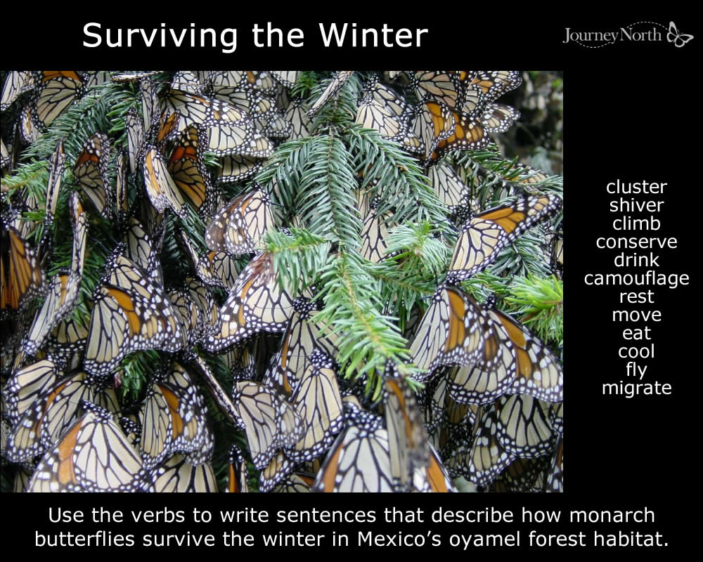 Monarch Butterflies in Winter Sanctuary in Mexico