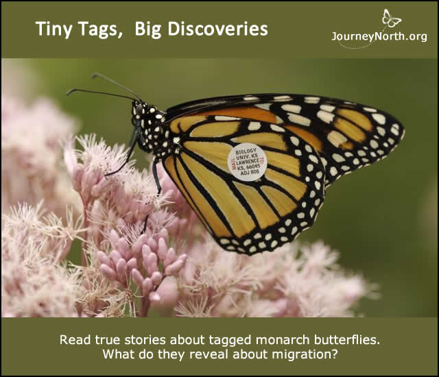 True Stories about Tagged Monarch Butterflies