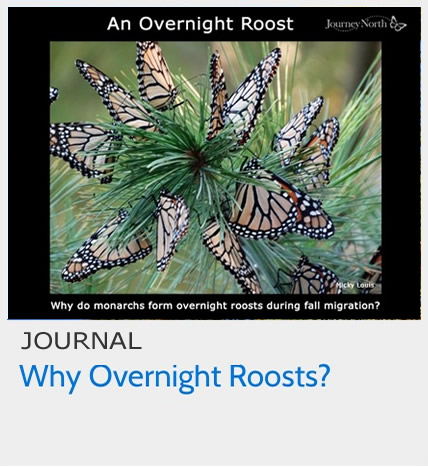 Why do Monarch Butterflies Form Overnight Roosts During Fall Migration?