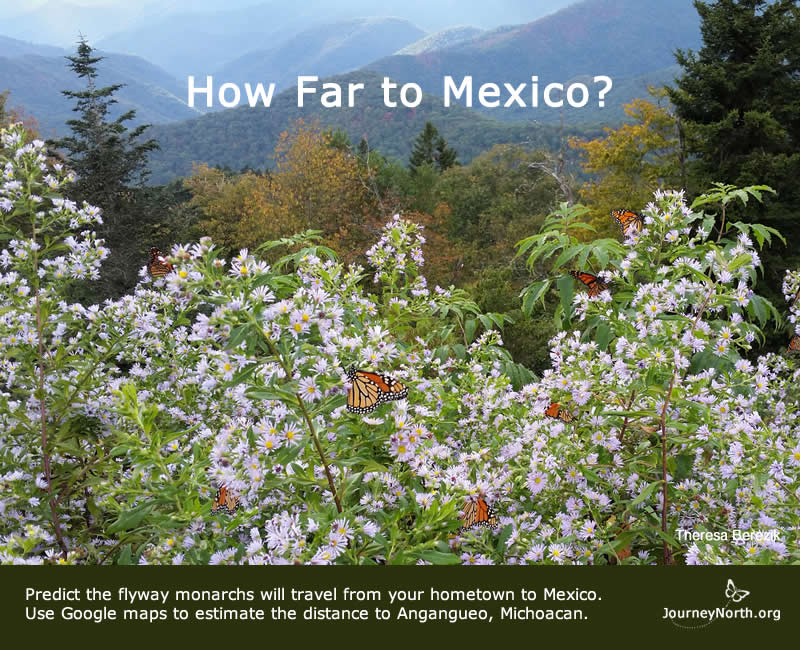 How far do monarch butterflies migrate to Mexico