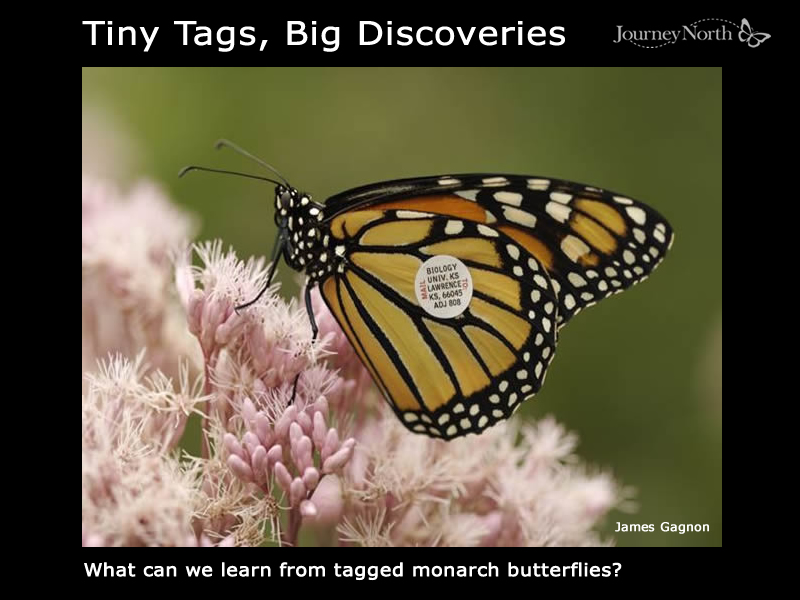 Monarch Butterfly Tagging Stories