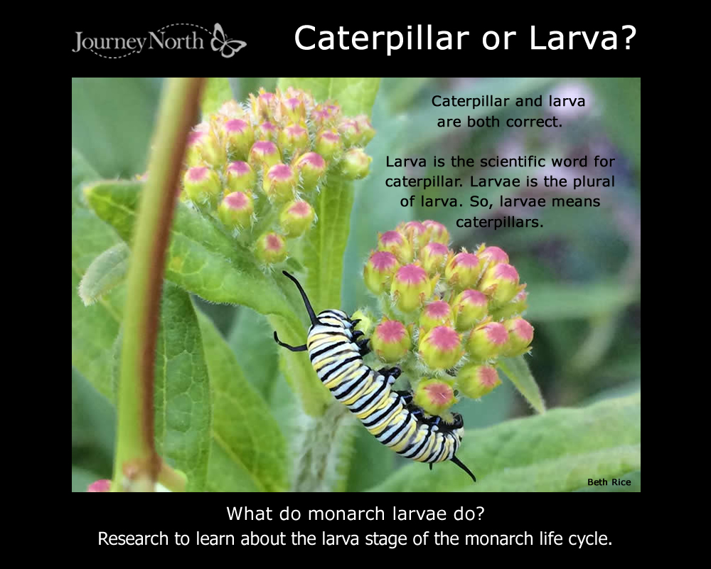 Monarch Butterfly Caterpillar or Larva