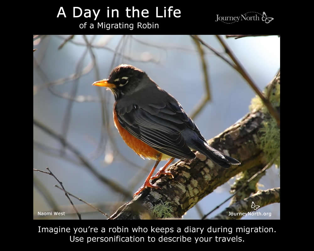 A Day in the Life of a Migrating Robin