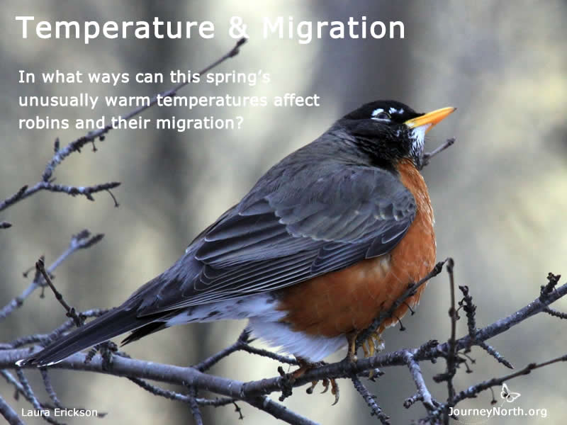 Robin Migration and Warm Spring Temperatures