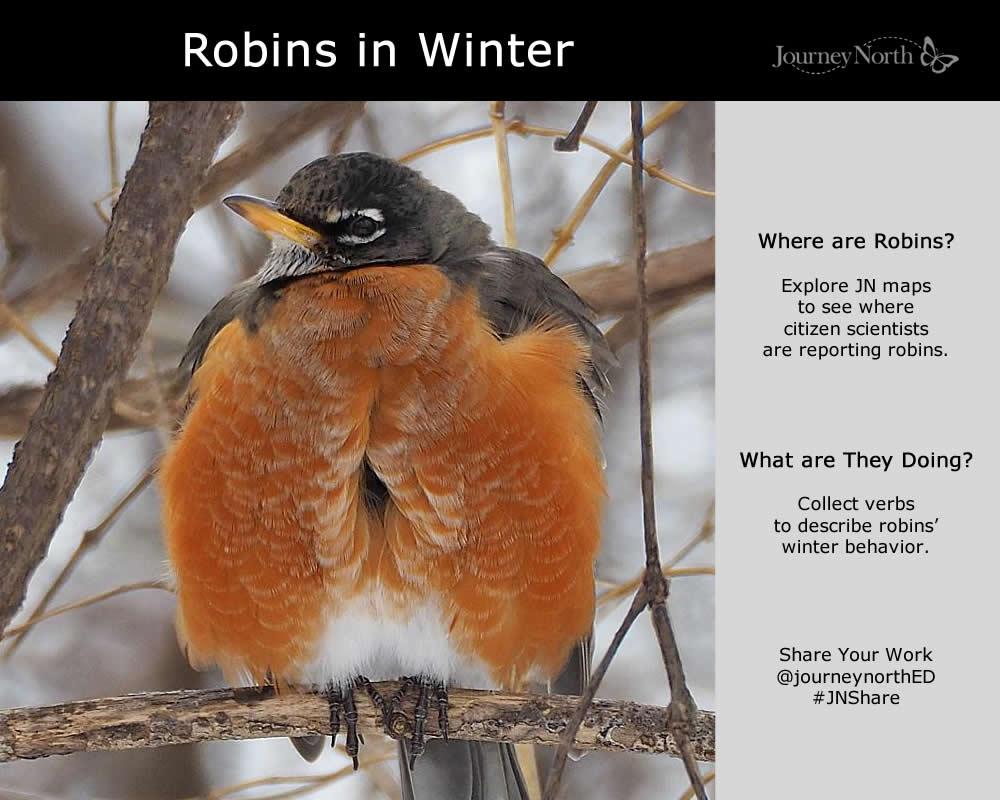American Robin Journal