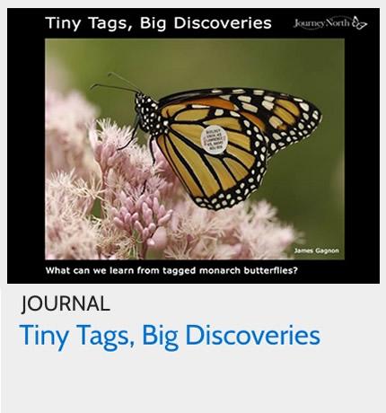 Journal: What Can We Learn from Tagged Monarchs?