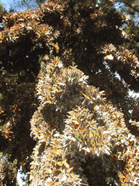 Monarch butterflies in colony in Mexico