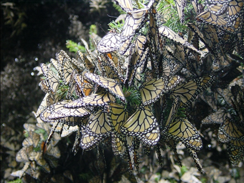 Monarch butterfly overwintering region in Mexico, with sanctuary sites marked.
