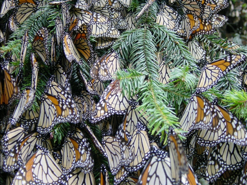 Monarch Butterfly Forest