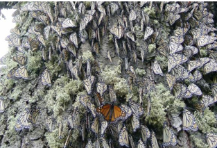 Monarch butterfly wings at sanctuary in Mexico