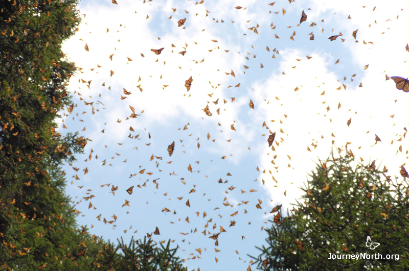 Monarch Butterflies Arrive in Mexico