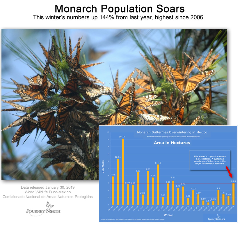 Monarch Butterfly Population News from Mexico