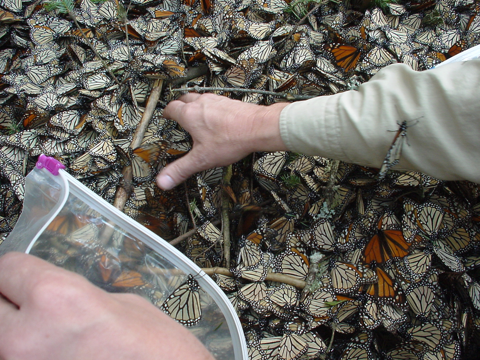 Estimating the number of butterflies per square meter