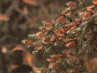Monarch butterfly roost in Mexico