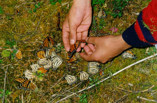 Monarch butterflies and clues to predators in Mexico.