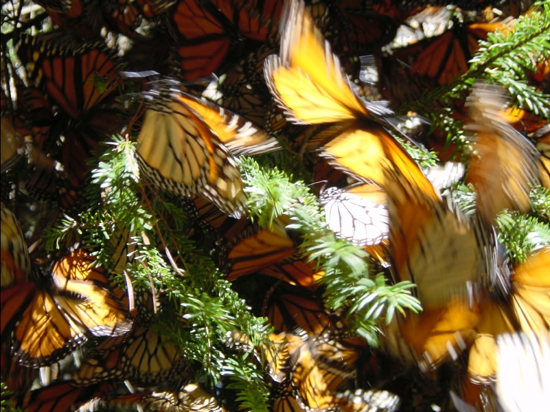 Monarch Butterflies wintering in Mexico