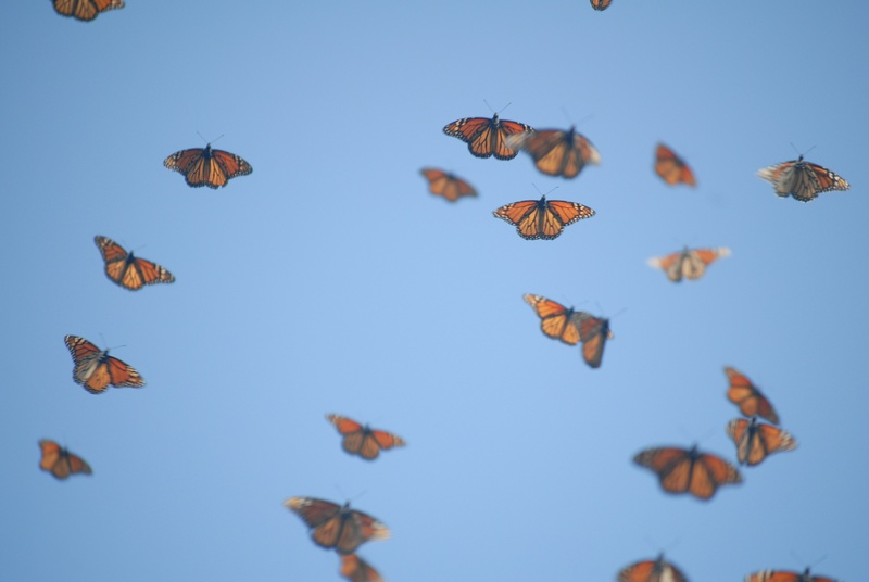 Monarch Butterflies in Flight Arriving in Mexico