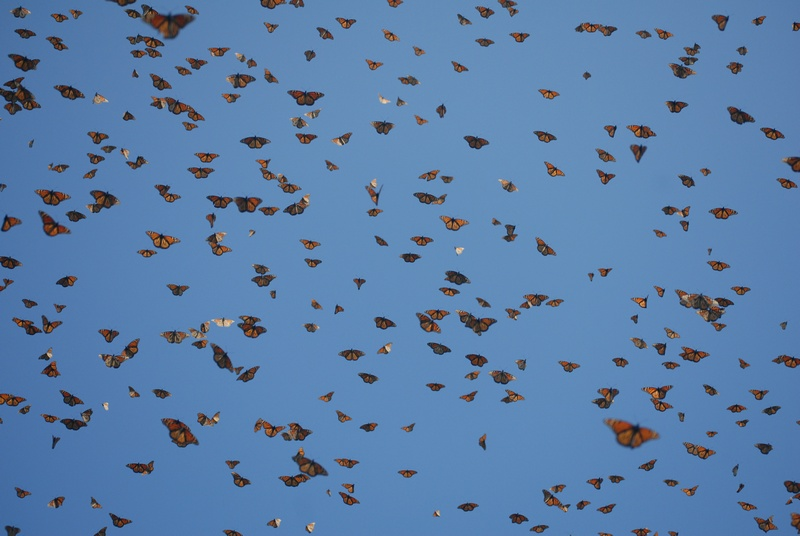 Monarch Butterflies arriving in Mexico