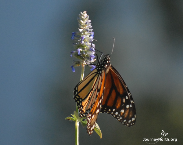 Monarch butterfly at sanctuary in Mexico, visiting flower.