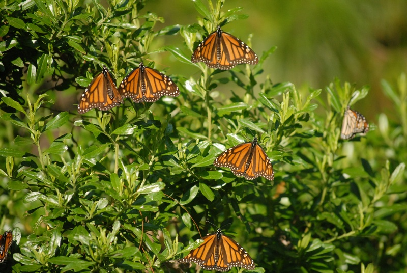 Basking monarch butterflies
