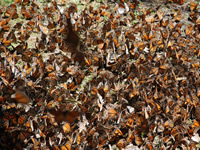 Thousands of butterflies cover the ground.