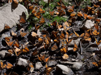 Monarch Butterflies drinking water in Mexico