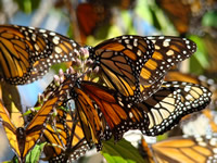 Monarch butterflies in flight at overwintering site in Mexico