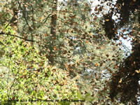 Streaming Monarchs at Overwintering Region in Mexico