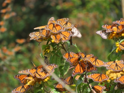 Monarch Butterflies at Cerro Pelon winter sanctuary in Mexico
