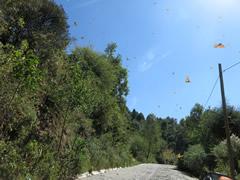Monarch Butterflies Flying for Water