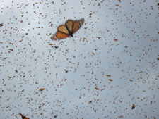 monarchs are moving