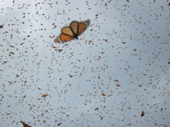 Monarch butterflies in flight at overwintering sites in Mexico