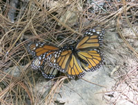 Monarch Butterflies Mating March 18, 2014