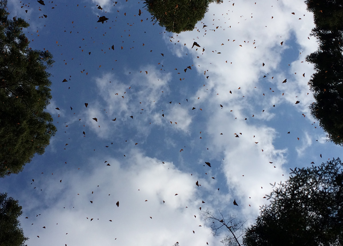 Monarch Butterflies at El Rosario Sanctuary in Mexico