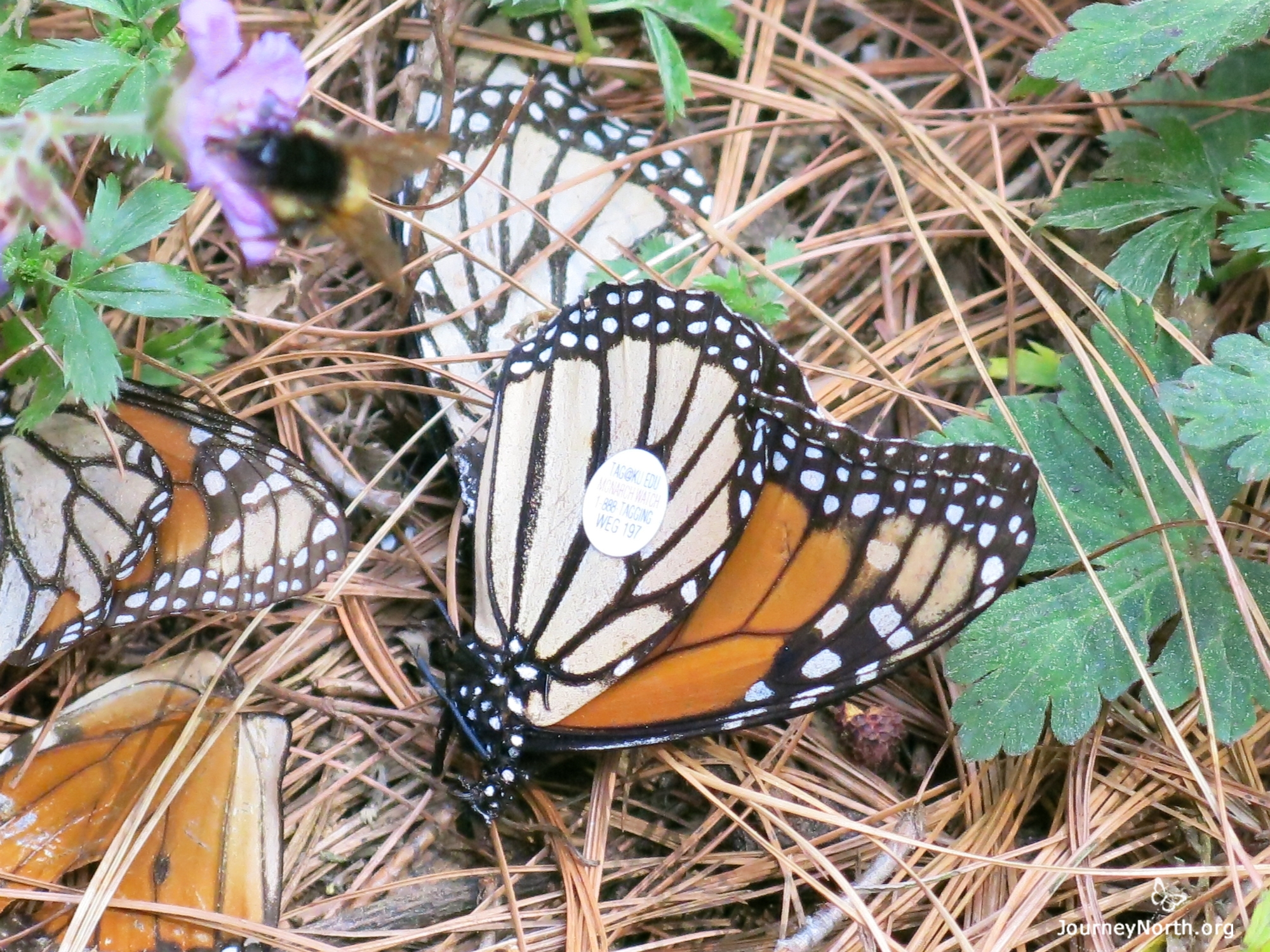 Monarch Butterfly Wing with Tag