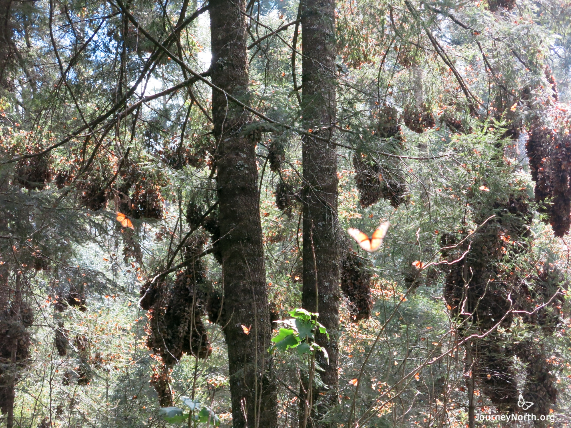 Monarch Butterflies at Sanctuary in Mexico