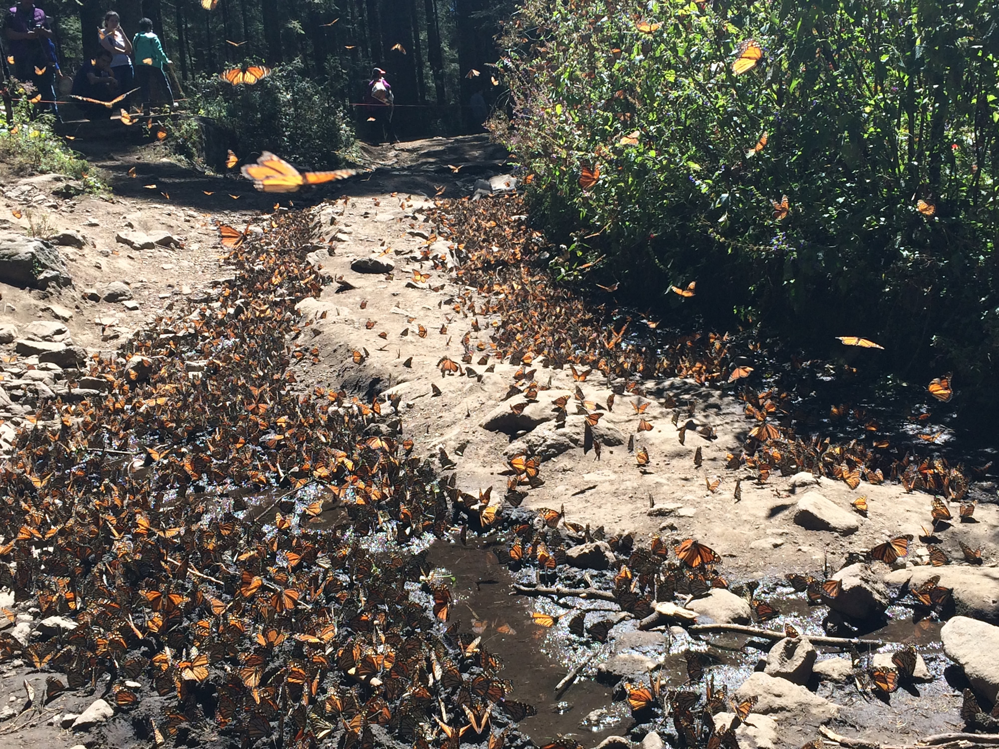 Monarch Butterflies fly from their clusters in search of water at El Rosario Sanctuary in Mexico