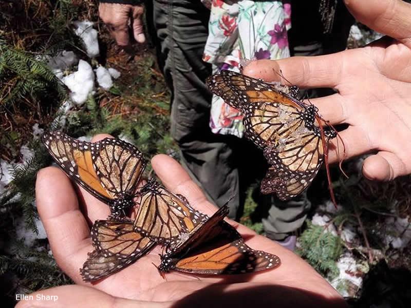 Storm struck monarch sanctuaries in Mexico