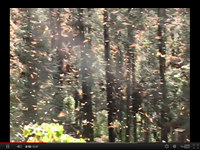Monarch Butterfly Sanctuary Video Clip