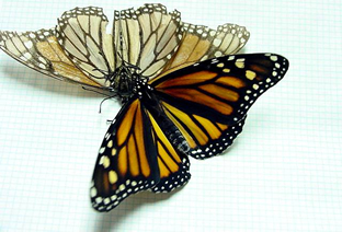 Monarchs eventually lose their color because the scales get scraped off over time.