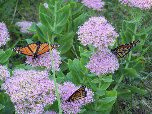 Monarch butterflies nectaring on sedum flowers.