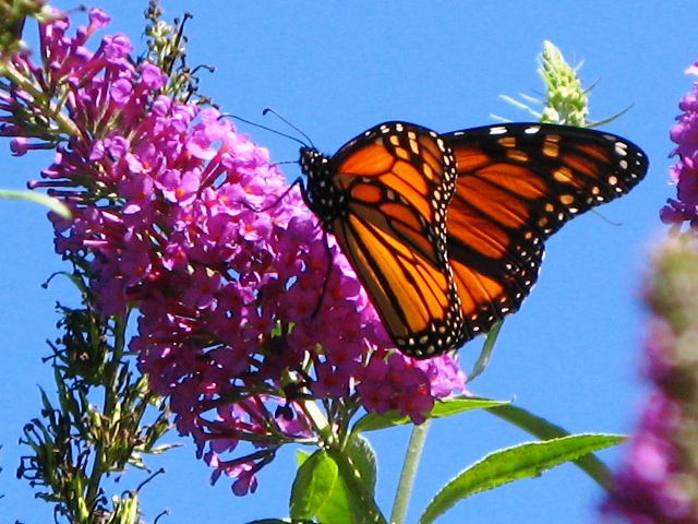 Temperatures and monarch butterfly