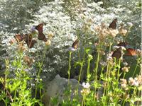 Monarch Butterfly Identification